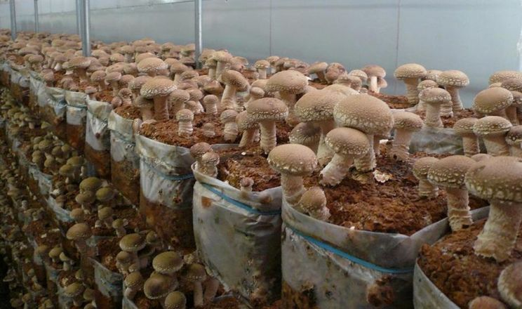 Виробництво екзотичних грибів в Україні подвоїться