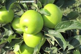 Вітчизняний вчений розробив інноваційну систему захисту яблуні від парші