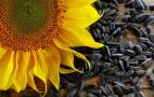 За високих температур вміст олії в насінні соняшнику зменшується на 3-6%