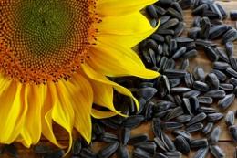 Експорт соняшнику за чотири місяці зріс у 10,5 раза