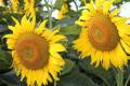 Досліджено вплив фунгіцидів на отримання стабільних врожаїв соняшнику