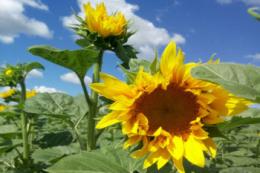 Agromino змінює технологію вирощування соняшнику