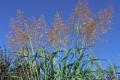 Хімічні способи боротьби з алепським сорго дієвіші за агротехнічні заходи, – думка