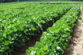 Врожайність сої знижується на 11 % за наявності п'яти бур'янів на «квадрат»
