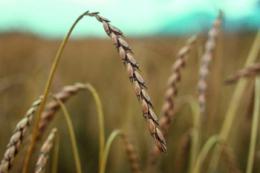 «Епіцентр Агро» посіяв органічну спельту і сою на Житомирщині та Вінниччині