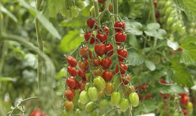 Видовжені томати чері цікаві смаком, врожайністю та невибагливістю
