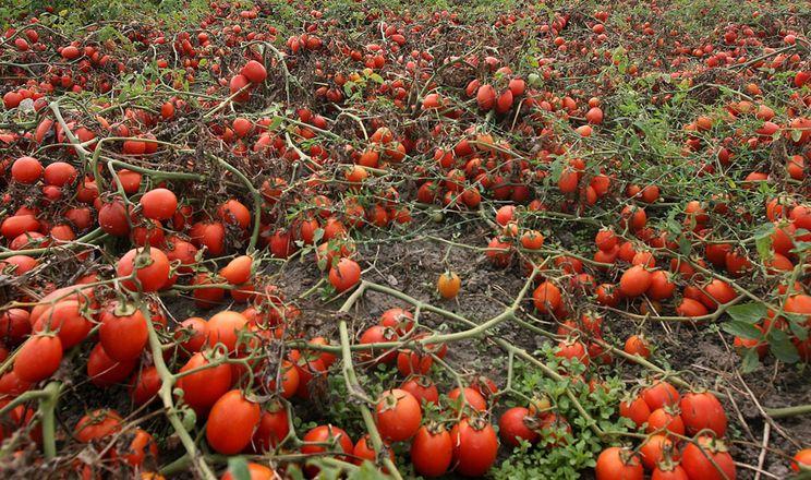 Фермер заорав урожай томатів, бо не знайшов робітників на збирання