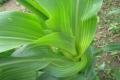 Джерелом поширення бактеріального вілту кукурудзи слугує інфіковане насіння