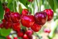 В Україні висадили одразу три нових вишневих сада