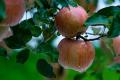 У Польщі очікують на 17% більший урожай яблук, але його збиранню заважає дощ