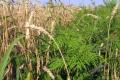 Бур'яни здатні винести з ґрунту вологу, необхідну на формування урожаю