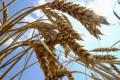 У вересні Україна наростила експорт пшениці майже до 3,5 мільйона тонн