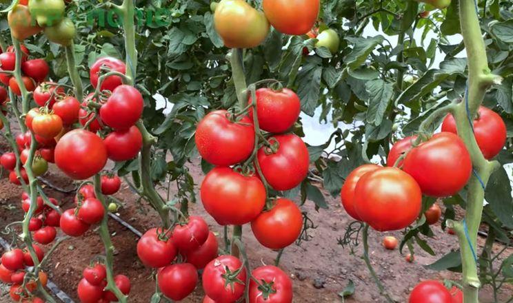 У Кам'янці-Дніпровській презентували яскравий томат з носиком
