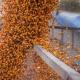 На елеваторах стрімко зросли закупівельні ціни на кукурудзу