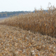 Названо головний чинник, який треба врахувати у визначенні густоти сівби кукурудзи