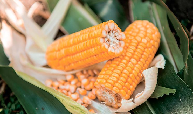 Урожайність кукурудзи під контролем