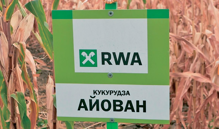 Кукурудза на ім'я RWA