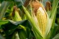 Значний приріст урожайності кукурудзи показали нові випробування мікробіологічної обробки насіння від Indigo