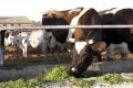 Який допустимий уміст мікотоксинів у кормах для корів
