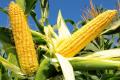 Запізне внесення гербіцидів у посіви кукурудзи загрожує втратою третини врожаю