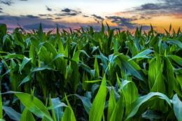 Підживлення кукурудзи міддю в умовах спеки ефективніше по листку
