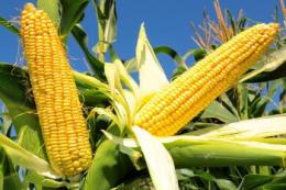 Закупівельні ціни на кукурудзу виросли до 248-250 $/т