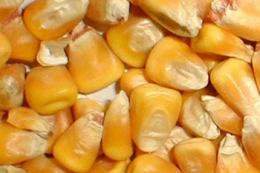 Бразилії прогнозують рекордний урожай кукурудзи у 2021 році