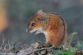 Погодні умови трохи стримали поширення мишей на полях Харківщини