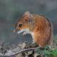 На полях Харківщини зростає чисельність мишоподібних гризунів