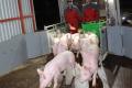 У 2020 році Україна ввезла з-за кордону 11 тис. свиней