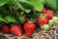 Урожайність органічної суниці садової вдвічі нижча, ніж конвенційної