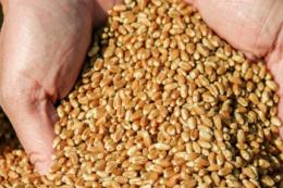 Ціни на чорноморську пшеницю підвищилися на 2.5 $/т
