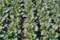 Оприлюднено висновки досліджень щодо збереження енергоносіїв у вирощуванні озимого ріпаку
