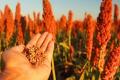 «Агротрейд» вирощуватиме сорго на Харківщині