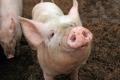 Біовугілля зменшує викиди від свинячого гною й пом'якшує запахи