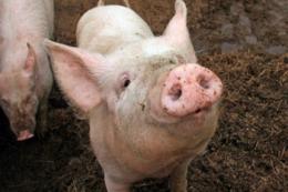 Миколаївське господарство модернізує корпус відгодівлі свиней