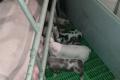 Догляд за свиноматкою значно полегшується за щілинної підлоги