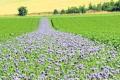Польові квіти допомагають контролювати віруси на картоплі