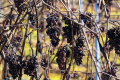 В Росії та окупованому Криму через посуху зібрали низький врожай винограду