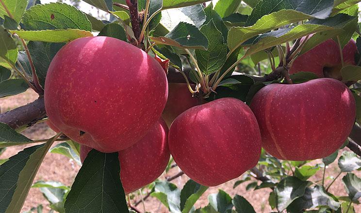 Яблука Wildfire RKD достигають на 3 тижня раніше, ніж основний сорт Гала