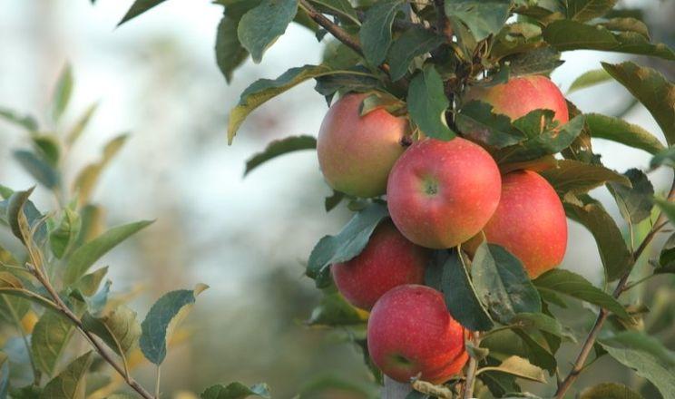 USDA спрогнозувало урожай яблук на сезон 2020/21