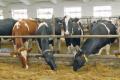 Хмельницький «Світанок» планує збільшити дійне стадо до 550 корів