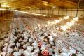 Птахівничий сектор Польщі зазнає краху