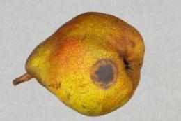 Яблука та груші в Нідерландах вражаються гниллю через Phytophthora chlamydospora