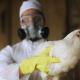 На Київщині зафіксовано спалах грипу птиці