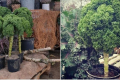 «Дерева» капусти кейл продають у горщиках, наче ялинки