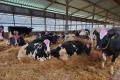 Корови відпочивають 8-14 годин на добу