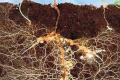 Завдяки мікоризації ФГ «Єфрем» на Вінниччині отримує рекордні врожаї навіть за екстремальних умов