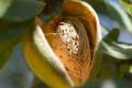 На півдні України мигдаль буде ефективнішим, ніж фундук, – фермер