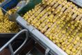 Картопляне лушпиння стане сировиною для добрив